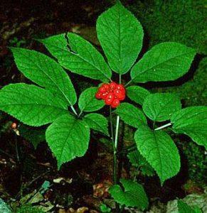 quique folium rode ginseng erectiestoornis