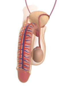 dikkere penis anatomie
