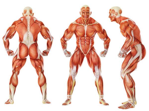 Overzicht van spieren mannenlichaam